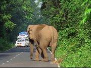 Ailesi için yol kesen fil