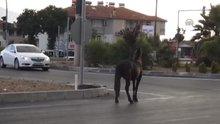 Yolda koşan at kırmızı ışıkta durdu!