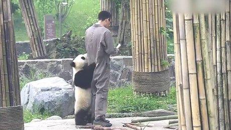 Pandanın büyük mücadelesi