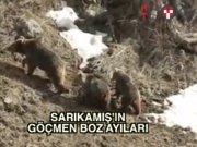 Sarıkamış'ın boz ayıları
