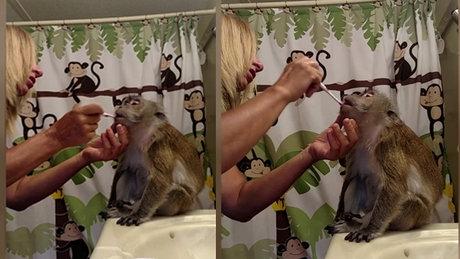 Dişlerini fırçalatan bakımlı maymun