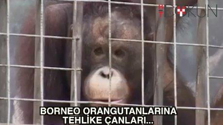 Borneo Orangutanları için tehlike çanları