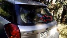 Kendini bagaja kilitleyen ayı, arabayı parçaladı