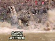 Jaguar timsahı böyle yedi