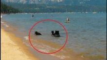 Anne ayı ve yavrularının deniz keyfi