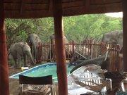 Yüzme havuzuna su içmek için gelen filler