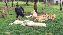 Leoparın saldırısından kaplan sayesinde kurtuldu
