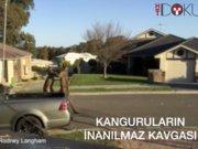 Kanguruların inanılmaz kavgası