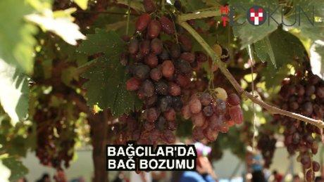Bağcılar'da 'bağ bozumu': 3 bin kişi üzüme doydu