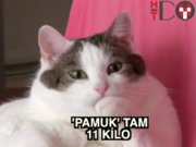 11 kiloluk kedi Pamuk'a diyet