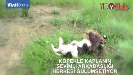 Kaplanla köpeğin dostluğu