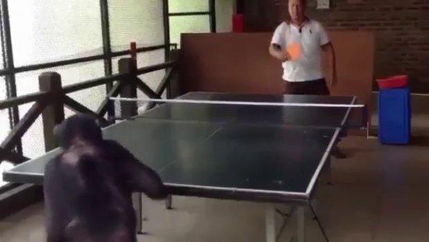 Masa tenisi ustası maymun
