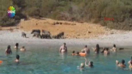 Bodrum'da turistler domuz beslemeye başladı