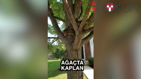 Kaplan ağaca tırmanırsa!