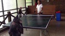 Masa tenisi oynayan şempanze