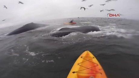 Kanocular bir anda dev balinaların arasında kaldı