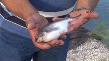 Muğla'da panga balığı üretimi