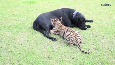 Yavru kaplana annelik yapan labrador