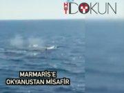 Okyanustan Marmaris'e: Sevimli İspermeçet çifti