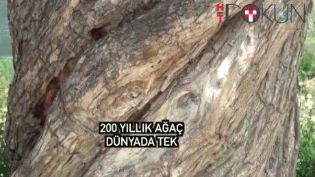 200 yıllık burgulu ağaç Kastamonu'nun gözdesi
