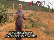 Edirne'de ceviz ağaçları telif oldu