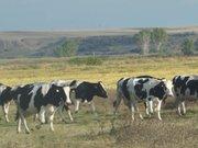 Sınırda otlayan inekler yurda kaçak geçiş yaptı