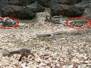 Yavru iguananın yılanlardan kurtuluşu kamerada!