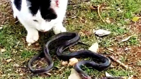 Kedilerin yılan kavgası kamerada