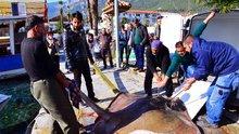 Gökova Körfezi'nde 200 kiloluk vatoz yakalandı