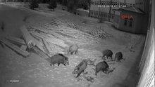 Aç kalan domuzlar üniversite kampüsüne indi