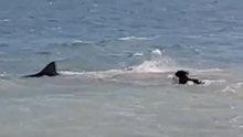 Korkusuz köpek köpekbalığını böyle kovaladı