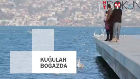 İstanbul Boğazı'nın yeni misafirleri kuğular