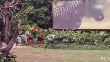 Zebra bakıcısına böyle saldırdı!