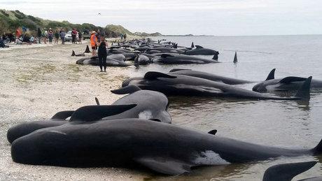 Yeni Zelanda'nın Güney Adası'nda 416 balina karaya vurdu