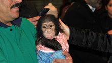 Annesinin bakmadığı şempanzeye bakıcısı sahip çıktı