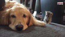 Yavru kedinin ilk kez köpekle tanışması