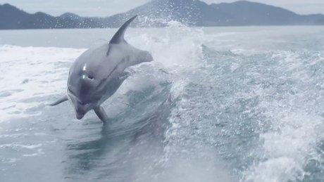 Teknenin peşinden giden yunusların muhteşem görüntüsü