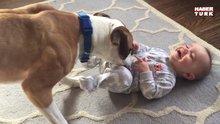 Ağlayan bebeği gıdıklayarak güldüren köpek