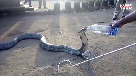 Kobraya pet şişeden su içirdiler