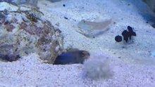 Temizlik yapan balığın deliğine kum atan balıklar