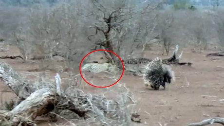 Kirpiye saldırdığına pişman olan leopar