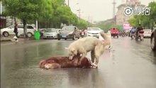 Ölen köpeğin başından ayrılmayan köpek