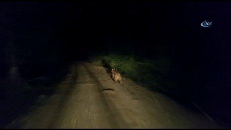 Ayı, köy yolunda önüne çıkan araçtan böyle kaçtı