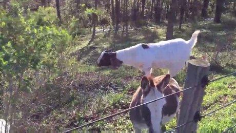 Atıştırmak için eşeğin sırtına çıkan zeki keçi