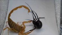 Akrep böceği böyle kıskacına aldı