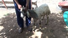 Koyunun kulağında oluşan ağız görenleri hayrete düşürdü