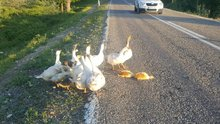 Sürüdeki kazlar yaralanan yavruların başından ayrılmadı