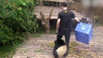 Bambu yerine bakıcının ayağını tercih eden pandalar