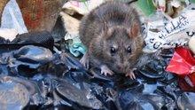 Şehrin göbeğinde esnaf fare avına çıktı