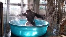 Küçük havuzda çılgınca dans eden goril